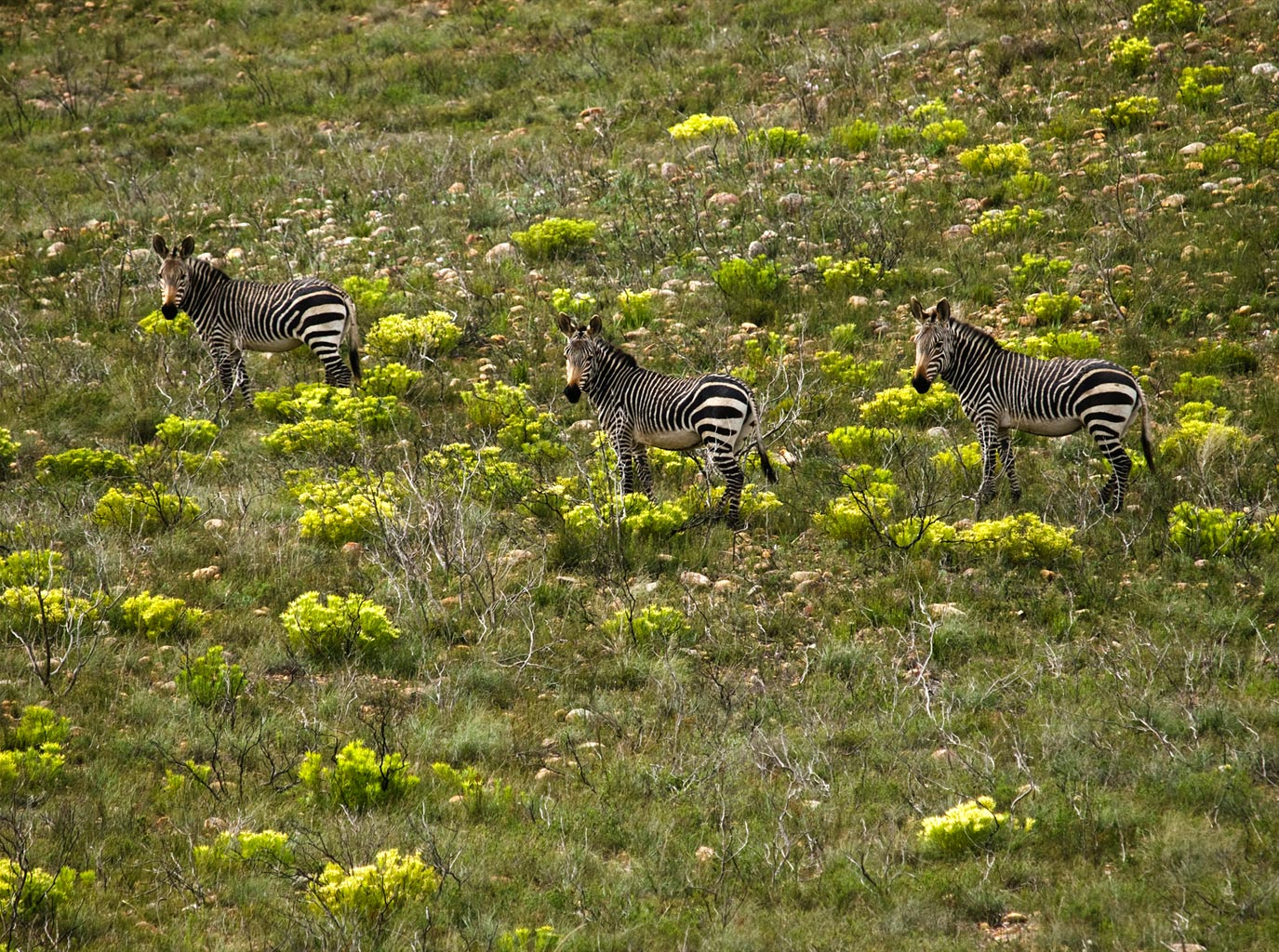 Three small zebras