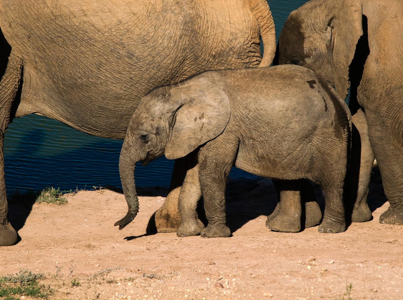 Elephant-family