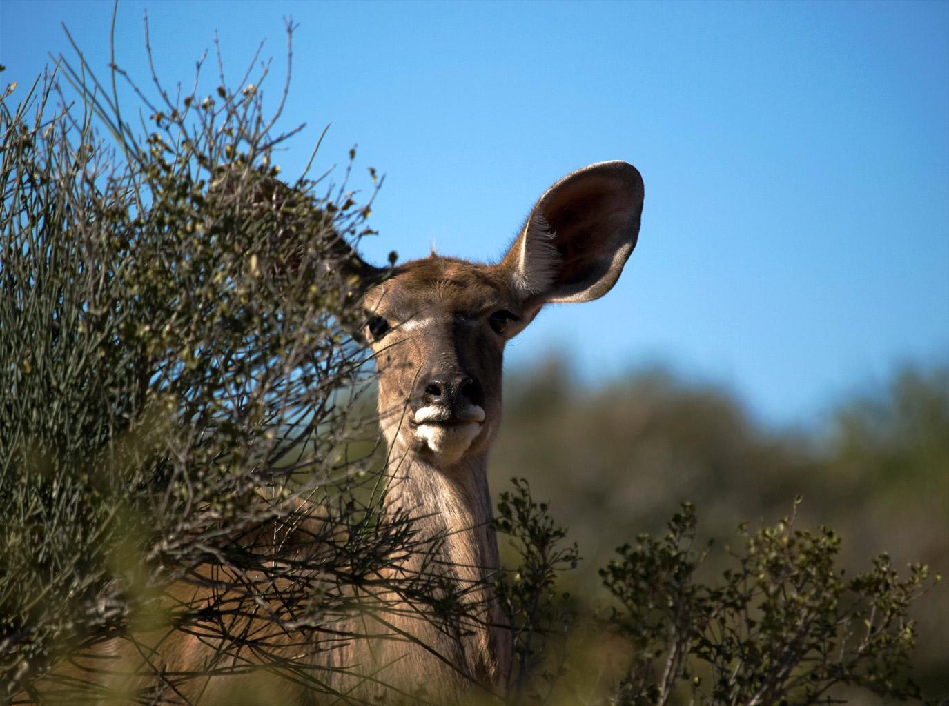 Lady Kudu
