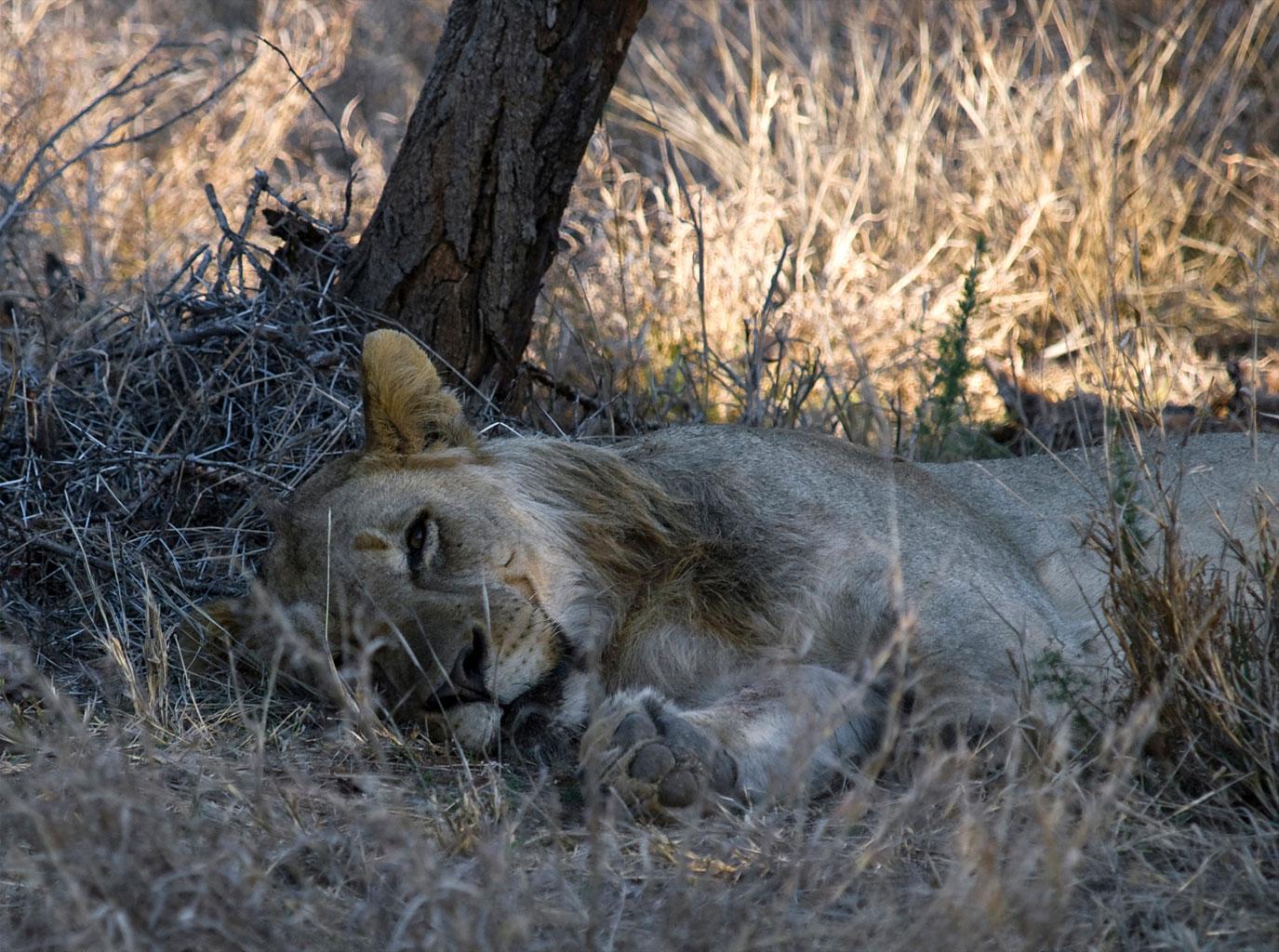 The sleeping Lion