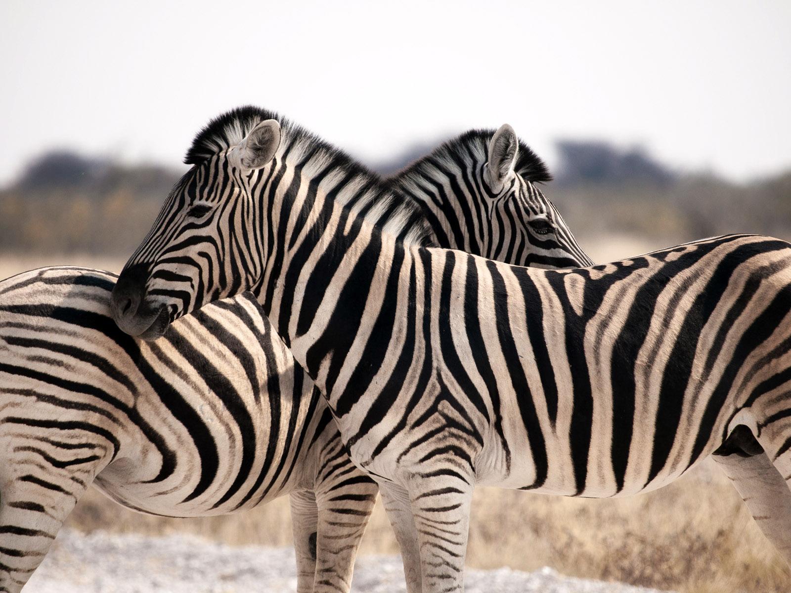 X-Zebra