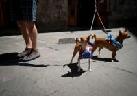 Palio dogs